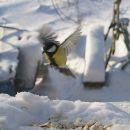 Зимние птицы синицы